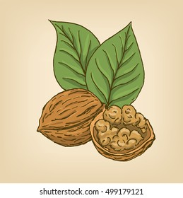 Walnuts with leaves and kernel walnut. Vector illustration. Hand drawn illustration.