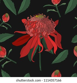 waratah flower, Australia native plant seamless pattern on black background
