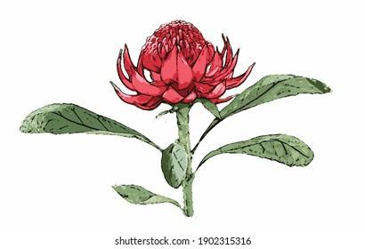 A Waratah flower in bloom on a stem. Illustration