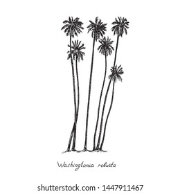 Washingtonia robusta, the Mexican fan palm or Mexican washingtonia trees group silhouette, hand drawn gravure style, vector sketch illustration with inscription