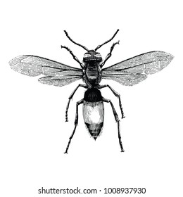 Wasp hand drawing vintage engraving illustration isolate on white background