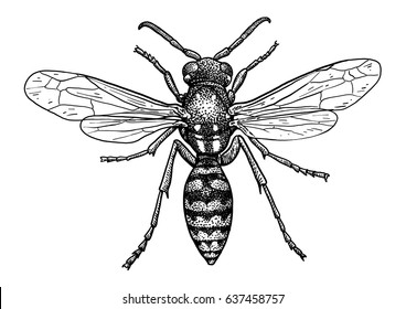 Wasp illustration, engraving, drawing, ink, vector