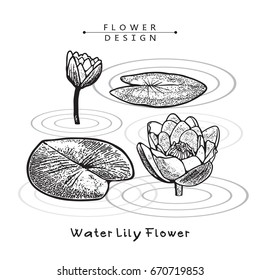 Water Lily, Flowers and leaves. Vector Illustration Isolated on White Background. The result of black and white auto-trace adapted for easy use.