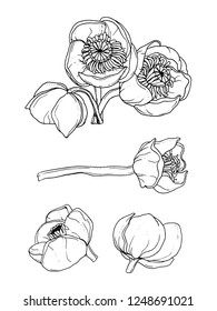 Water lily nenuphar flower. Isolated vector botanical illustration composition set: tropical, retro, vintage, hand drawn, black and white, outline. For wedding invitation, card, print design, tattoo.