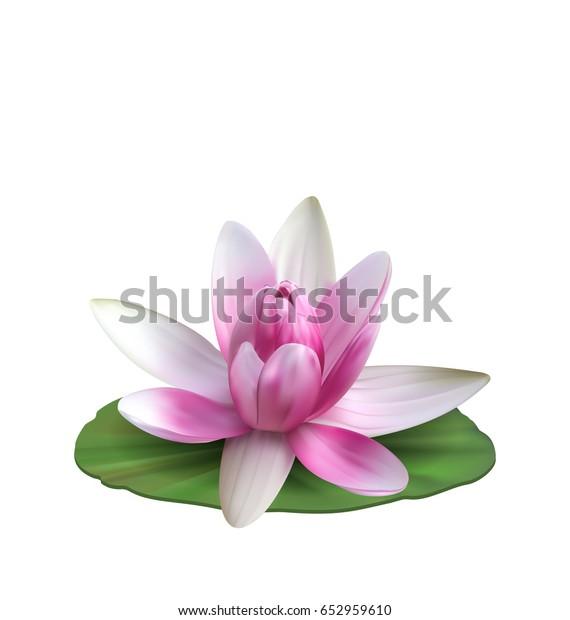 Водяная лилия, Nenuphar, Spatter-dock, Pink Lotus на зеленом листе. Цветок изолированный на белом фоне - Вектор иллюстрации