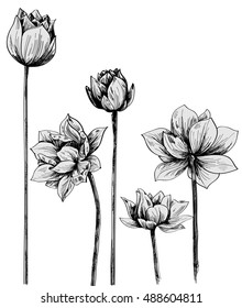 Water lily sketch, elements,flowers