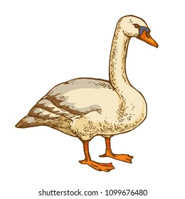 Waterbird goose hand drawn line art stock vector illustration isolated on white background