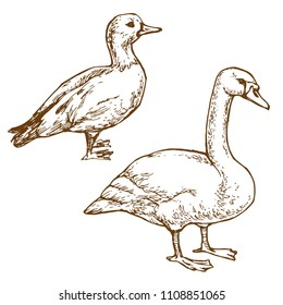 Waterbirds goose and duck hand drawn line art stock vector illustration for coloring book page isolated on white background