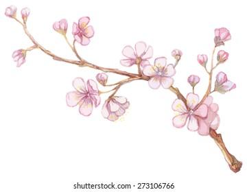 Watercolor apricot branch.