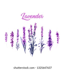 Watercolor or Aquarelle Paintings of Vector Lavender. Set of Isolated Watercolour Lavandula or Hand Drawn Tea Herbs Flower.