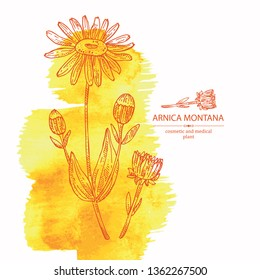 Watercolor background with arnica montana: arnica flower and leaves. Cosmetic and medical plant. Vector hand drawn illustration