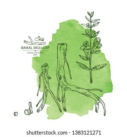Watercolor background with baikal skullcap: baikal skullcap flowering branch and root. Cosmetic and medical plant. Vector hand drawn illustration
