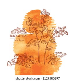 Watercolor background with buckwheat: plant and  buckwheat groats. Vector hand drawn illustration