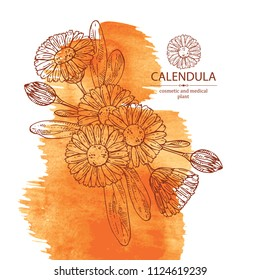 Watercolor background with calendula: calendula plant, leaves and calendula bud and flowers. Cosmetics and medical plant. Vector hand drawn illustration.