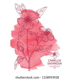 Watercolor background with camellia sasanqua: camellia flowering branch, leaves, camellia sasanqua flowers and bud. Cosmetic, perfumery and medical plant. Vector hand drawn illustration