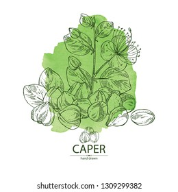 Watercolor background with caper: caper bud and flower. Vector hand drawn illustration.