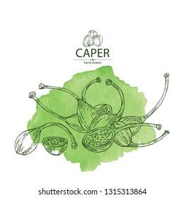 Watercolor background with caper: caper pod. Vector hand drawn illustration.