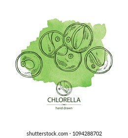 Watercolor background with chlorella: chlorella seaweed. Unicellular green algae. Edible seaweed. Vector hand drawn illustration.