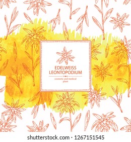 Watercolor background with edelweiss: edelweiss flowers and leaves. Leontopodium. Cosmetic and medical plant. Vector hand drawn illustration