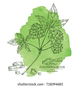 Watercolor background with eleutherococcus: branch of eleutherococcus, berries and eleutherococcus root. Siberian ginseng. Cosmetic and medical plant. Vector hand drawn illustration.