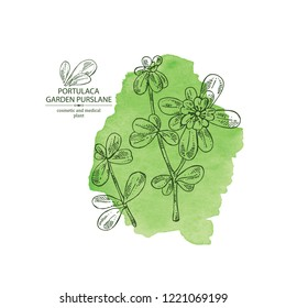 Watercolor background with garden purslane: purslane flowering branch and leaves. Portulaca. Cosmetic and medical plant. Vector hand drawn illustration