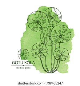Watercolor background with gotu kola: branch of gotu kola. Centella asian. Cosmetic and medical plant. Vector hand drawn illustration