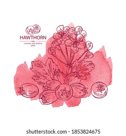 Watercolor background with hawthorn: hawthorn branch with flowers, leaves and berries. Crataegus berries. Cosmetics and medical plant. Vector hand drawn illustration.