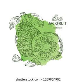 Watercolor background with jackfruit: fruit and jackfruit slice. Vector hand drawn illustration.