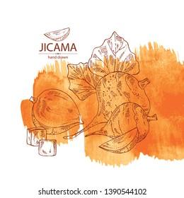 Watercolor background with jicama: tuber of jicama, leaves, flower and slice. Pachyrhizus erosus. Vector hand drawn illustration.