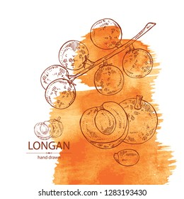 Watercolor background with longan: fruit and longan slice. Vector hand drawn illustration.