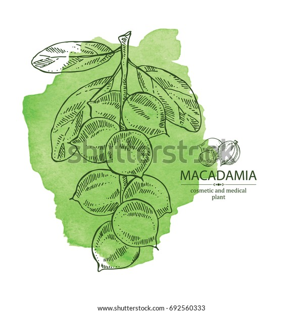 Watercolor background with macadamia: branch and macadamia nuts. Cosmetic and medical plant. Vector hand drawn illustration.