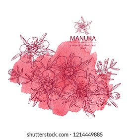 Watercolor background with manuka: leaves and flowers of manuka . Cosmetic and medical plant. Vector hand drawn illustration.