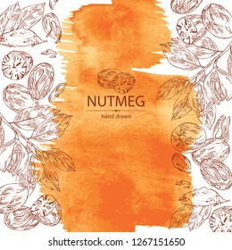 Watercolor background with nutmeg: nut and branch. Vector hand drawn illustration
