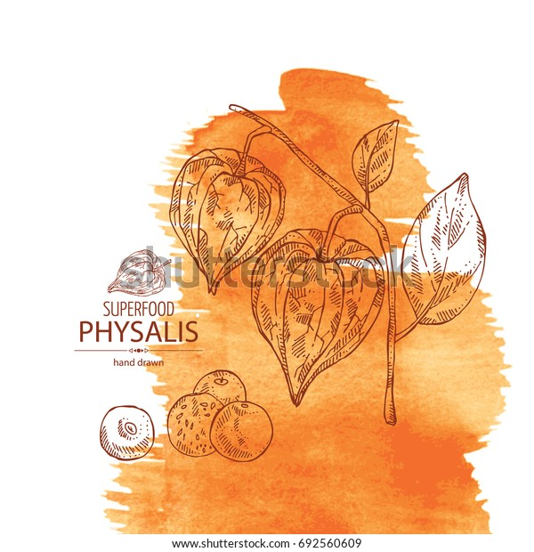 Watercolor background with physalis: plant and fruit. Tomatillo. Superfood. Vector hand drawn illustration.