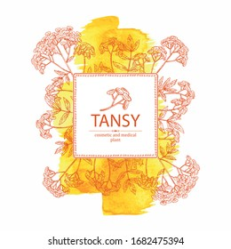 Watercolor background with tansy: plant, leaves and tansy flowers. Cosmetics and medical plant. Vector hand drawn illustration.
