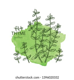 Watercolor background with of thyme: leaves and plant of thyme. Vector hand drawn illustration.