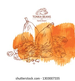 Watercolor background with tonka beans: tonka fruit, beans and leaves. Dipteryx odorata. Cosmetic, perfumery and medical plant. Vector hand drawn illustration