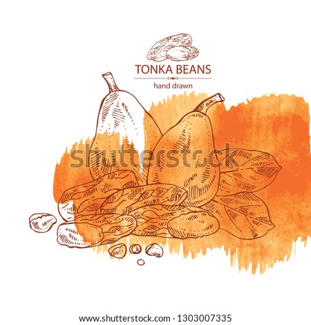 Watercolor Background Tonka Beans Tonka Fruit เวกเตอร์สต็อก