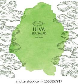 Watercolor background with ulva: sea salad seaweed, ulva leaves. Green algae. Edible seaweed. Vector hand drawn illustration