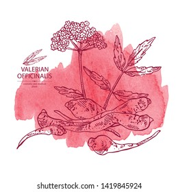 Watercolor background with valerian officinalis: valeriana flower and roott. Cosmetic and medical plant. Vector hand drawn illustration