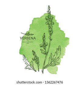 Watercolor background with verbena: verbena flowering branch and leaves.  Cosmetic and medical plant. Vector hand drawn illustration