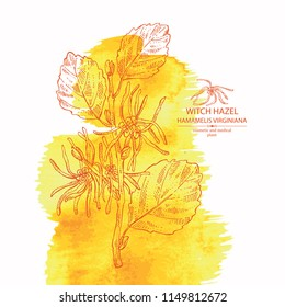 Watercolor background with witch hazel: witch hazel flowering branch, leaves, and  hamamelis virginiana flowers. Hamamelis virginiana.Cosmetic and medical plant. Vector hand drawn illustration