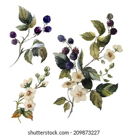 watercolor, blackberries, painting