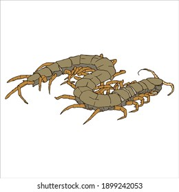 Watercolor drawing on a white background, Illustration animal: centipede