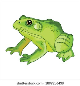 Watercolor drawing on a white background, Illustration animal: frog