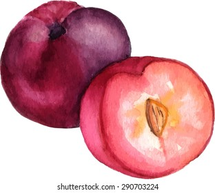 A watercolor drawing of a whole plum and a half, scalable vector graphic