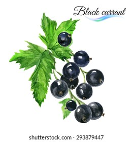 Watercolor fruit black currant isolated on white background