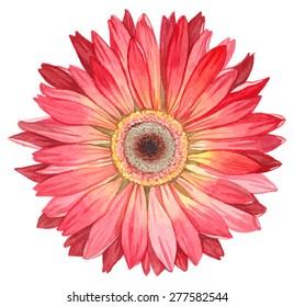 Watercolor gerbera.