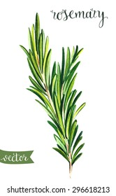 Watercolor hand drawn rosemary illustration. Template for your design
