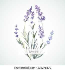 Watercolor illustration of Lavender.  Watercolor. Vector illustration.  Illustration for greeting cards, invitations, and other printing projects.